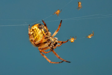 Beautiful spider on a spider web- Stock Image