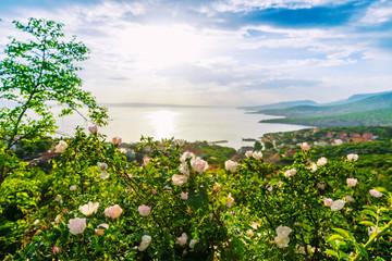 Beautiful blooming wild roses on Adriatic sea coast.