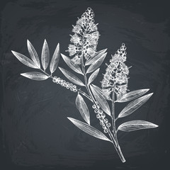 Hand drawn tea tree (tea olive) sketches on white background. Cosmetics and medical myrtle plant. Vector cajeput tree botanical drawings.