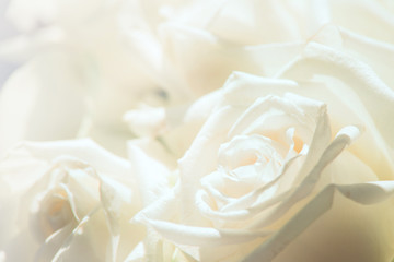 White rose close-up for background.Soft focus.Soft color with petal of rose blur style for background