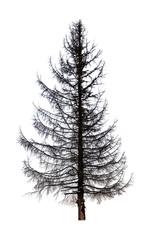 dead fir tree on white