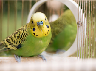 Green budgerigar parrot close up sits in cage near the mirror. Cute green budgie.