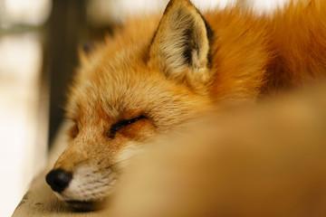 Fox in fox village Wall mural