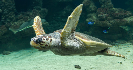 Diving Loggerhead sea turtle (Caretta caretta)