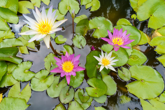 Beautiful lilly water flower.