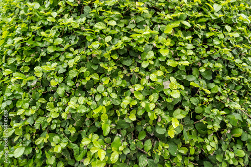 Texture Of Small Green Leaves Wall Background Close Up Vertical