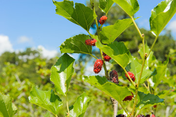 fresh mulberry or morus black ripe and red unripe mulberries on the branch of tree