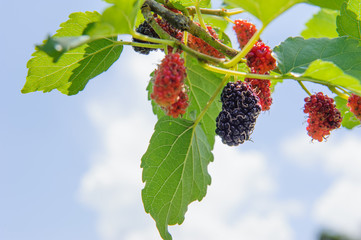fresh mulberry, black ripe and red unripe mulberries on the branch of tree against blue sky