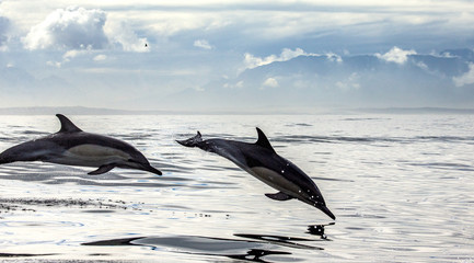 Dolphins jump out at high speed out of the water. South Africa. False Bay. An excellent illustration.