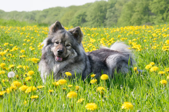 Eurasier dog lying in a meadow with dandelions in spring
