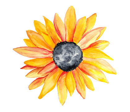 Watercolor yellow sunflower isolated on white background. Hand painted botanical illustration.