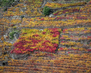 Colorful autumnal in the terraced vineyards