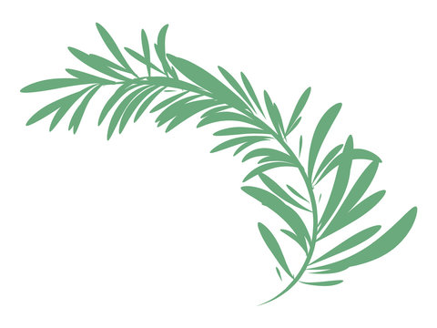 green rosemary branch isolated