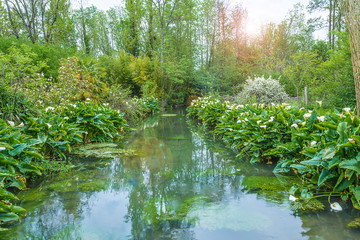 Beautiful spring landscape: white arums or calla lilies blooming along the river