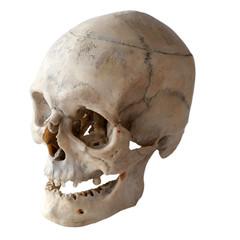 Anatomy of a human skull. Three-quarter angle. Isolated on white.