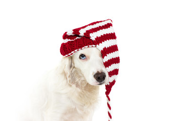 CHRISTMAS DOG COSTUME. CUTE PUPPY WEARING A STRIPED RED SANTA HAT WITH BLUE EYES. ISOLATED AGAINST WHITE BACKGROUND.