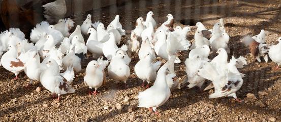 Fancy pigeons in aviary