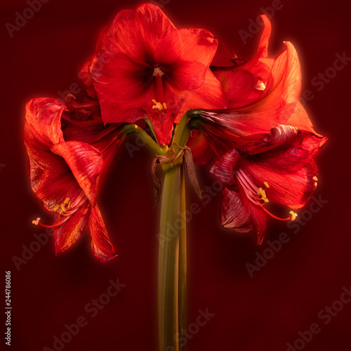 Verblühende Amaryllis Stock Photo And Royalty Free Images On