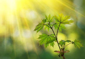 Green leaves in the forest in the light of the sun. Green maple leaves with sun ray. Young green leaves in sunlight, dreamy romantic image of spring nature, copy space