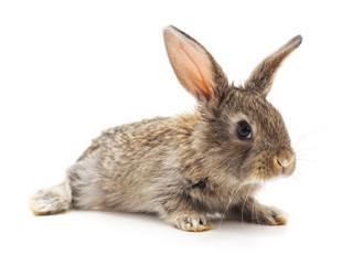 Grey big rabbit.