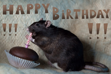 the rat celebrates his birthday and eats a cake