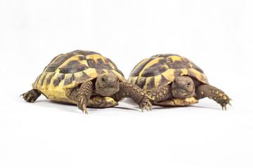 Hermans Tortoise isolated on white background