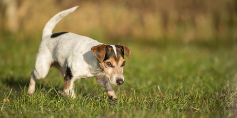 Cute Jack Russell Terrier dog 12 years old is running in a meadow with water puddles in a cold season
