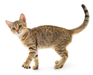 Wall Mural - Small brown kitten isolated on white background.