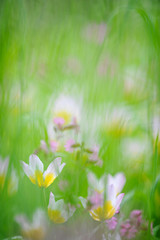 Tulips (Tulipa Bakeri Lilac Wonder) on a meadow in springtime.