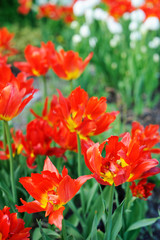 Red tulips in the springtime