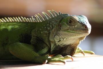 iguana verde lagarto lizard green