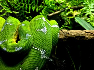Vibrant, Close Up Nature Photo of a Green Emerald Tree Boa Snake Coiled on a Log - with Various Plants in the Background