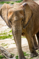 Close Up Nature Photo of an Elephant - with Sand and Grass in the Background on a Bright, Sunny Day