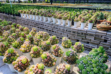 beautiful cactus and succulent or plants agriculture in Thailand