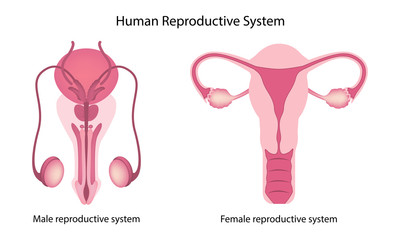 Human reproductive system anatomy