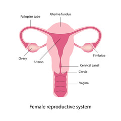 Female reproductive system anatomy vector
