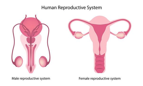 Human reproductive system anatomy vector