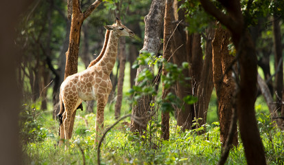Baby giraffe in the forest