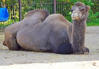 View of a Bactrian camel with two humps