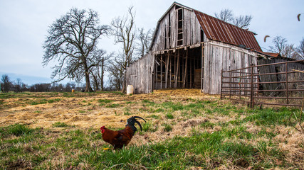 Rooster and barn on the farm