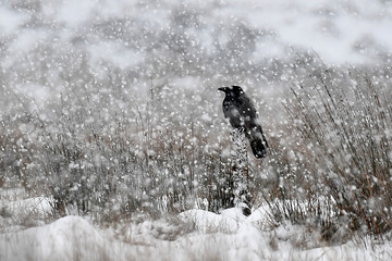 A crow sits on a wooden post as heavy snow falls in Glenshane Pass