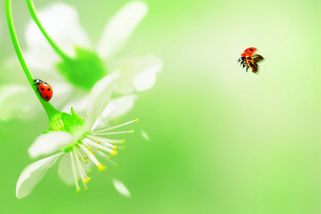 Natural spring and summer background. Red ladybug on white cherry flowers. Free space for text. Green, yellow and red color.