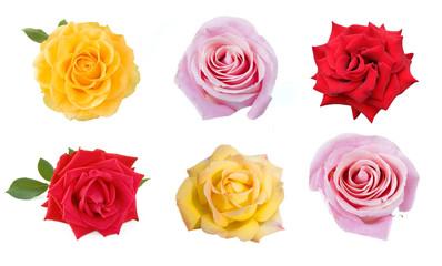 beautiful rose  isolated on white background set