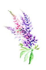 Watercolor illustration Botanical  lupinus isolated on white background