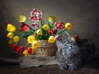 Still life with basket of multicolored tulips and playing gray kitty