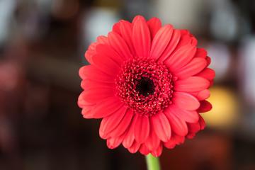 Single beautiful red gerbera