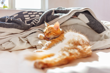 Cute ginger cat lying in bed. Fluffy pet licking.