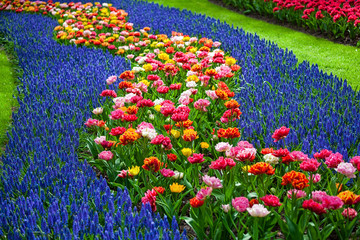 Fototapete - Multicolored Tulips in garden in Netherlands