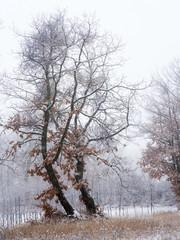 Trees in snowy winter