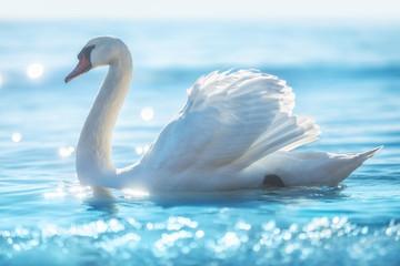 Witte zwaan in kalm zeewater, prachtig zonsopgangschot